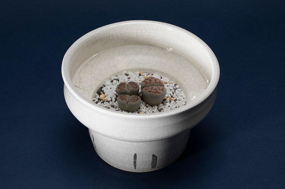 植木鉢(リトープス)